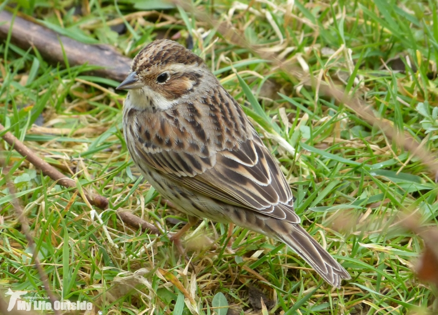 Little Bunting, Forest Farm