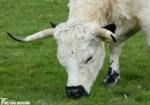 White Park Cattle, Dinefwr