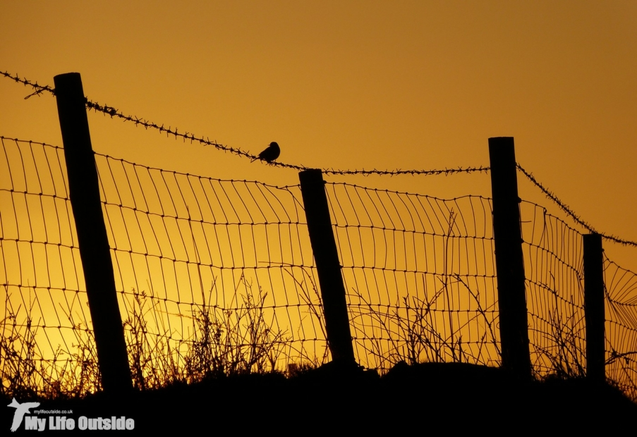 Meadow Pipit at Sunset