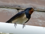 Swallow, Martin's Haven