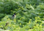 Stonechat, Bryn-bach-Common