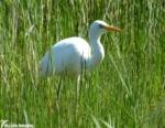 Great White Egret, Kenfig NNR