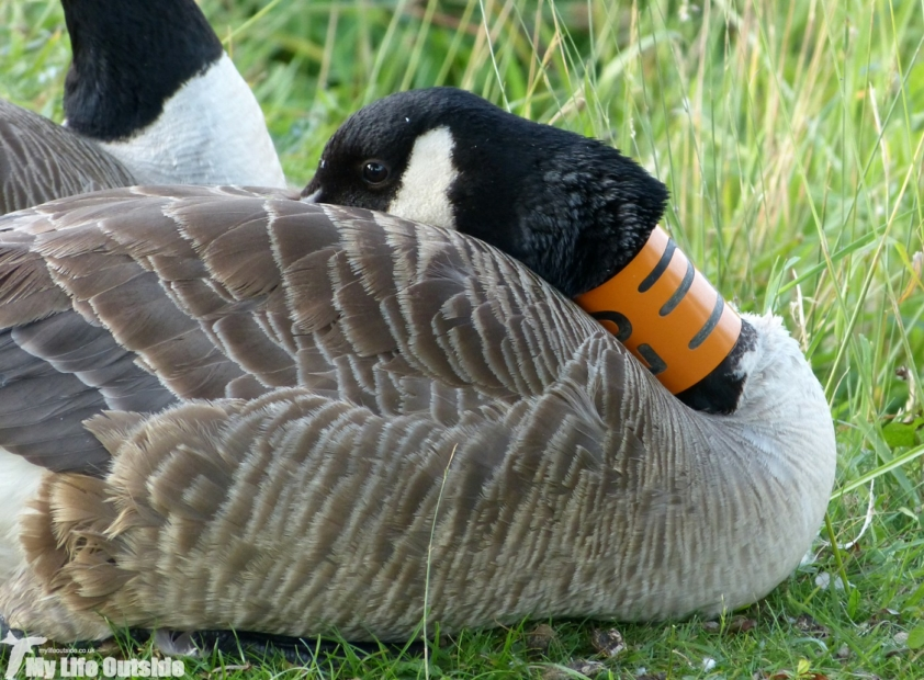 Ringed Canada Goose, Cotswold Water