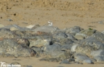 P1140907 - Juvenile Ringed Plover, Burry Port