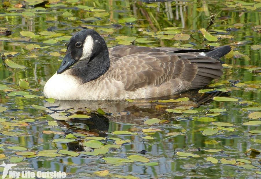 Canada Goose, RSPB Old Moor