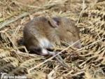 Mouse, Strumble Head
