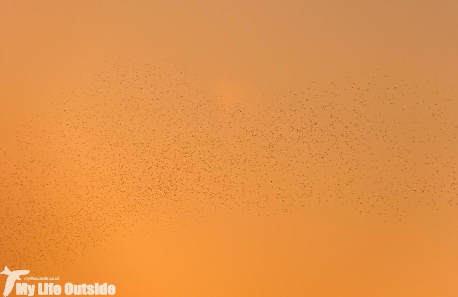 Starlings, Llanrhidian Marsh