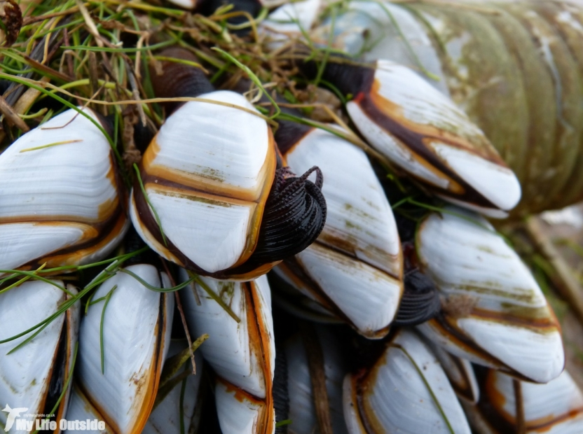 Goose Barnacles, Whiteford