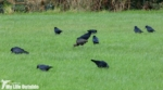 Glossy Ibis, Ferryside