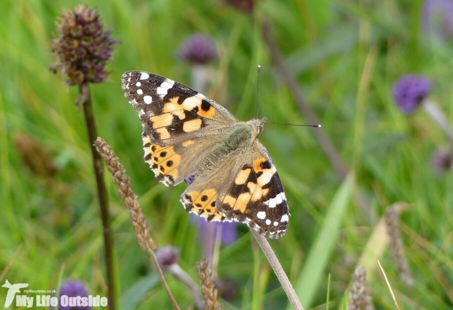 Painted Lady, Porthgain