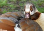 Egyptian Goose, London