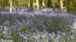 Bluebells, Dering Wood