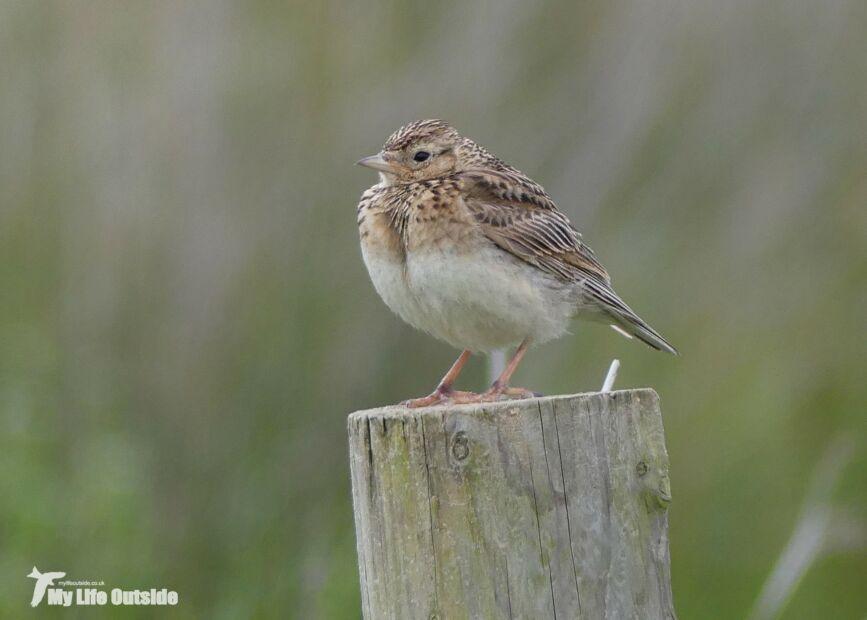 Juvenile Skylark, Whiteford