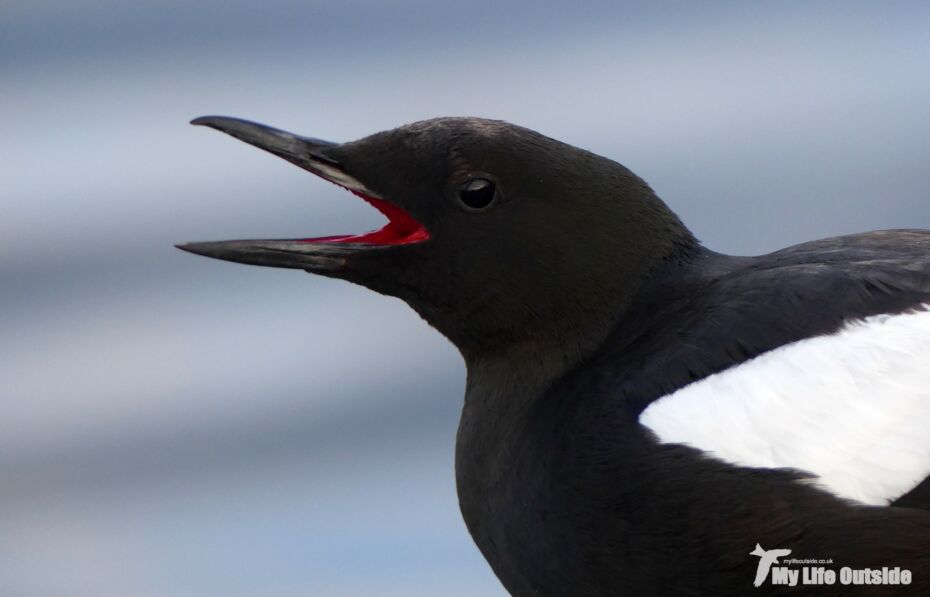 Black Guillemot, Oban