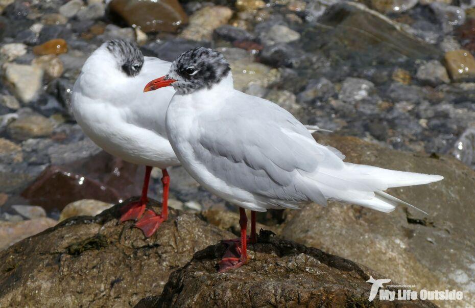 Mediterranean Gull, Mumbles