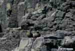 Black Guillemot, Isle of Mull