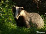 Dinefwr Badger Watch