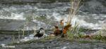 Dipper, Cenarth Falls