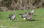 White-fronted Geese, Slimbridge WWT