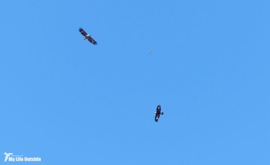 Golden Eagle, Sea Eagle and Buzzard, Isle of Mull