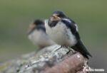 Swallow, Ulva