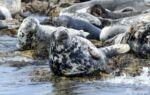 Farne island Seals