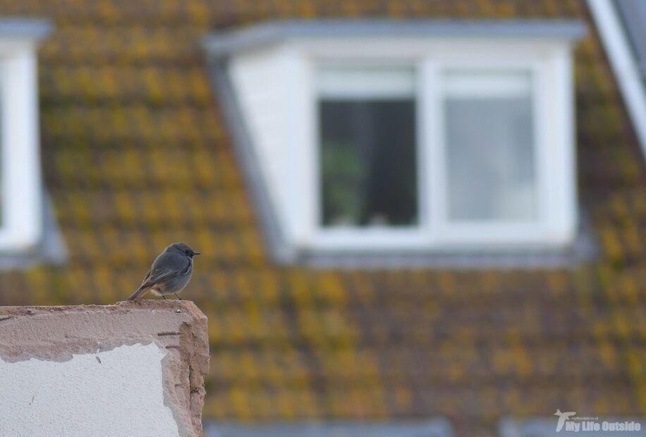Black Redstart, Seaton