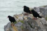 Gower Chough at Southgate