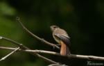 Redstart Dinefwr