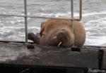 Wally the Walrus