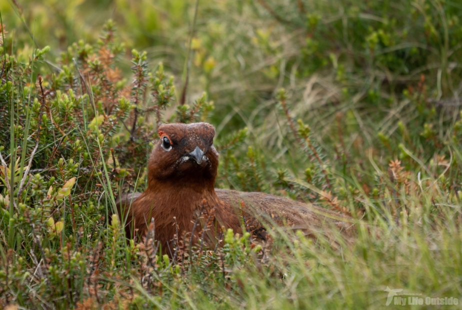 Red Grouse Ilkley Moor